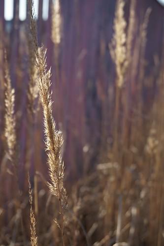 light sun macro nature grass closeup reeds weeds bokeh