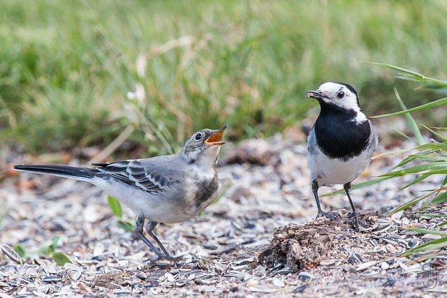 Juv. White Wagtail (Motacilla alba) + male adult-
