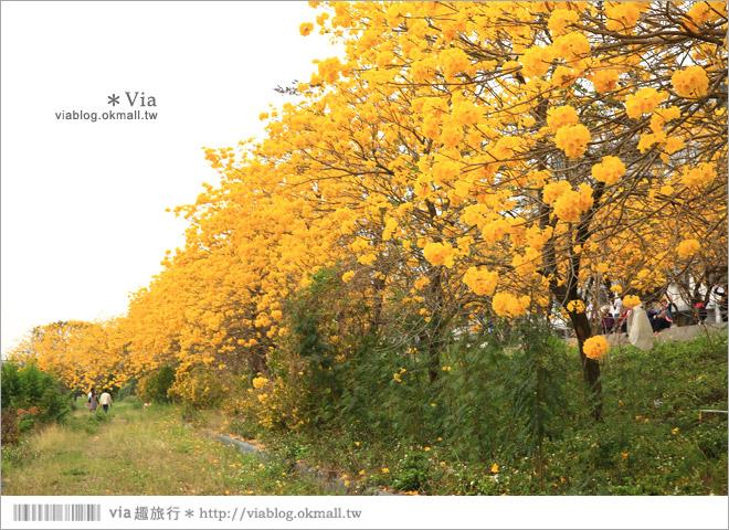 【嘉義景點】嘉義軍輝橋黃金風鈴木~全台最美的堤防!開滿滿的風鈴木美炸了!11