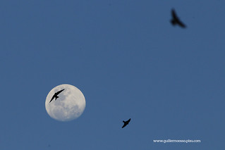 a flock of swallows welcomes the start of the full moon