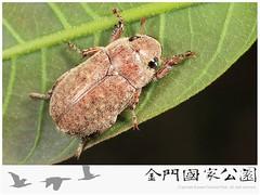 中華褐金龜