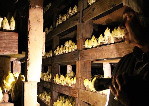 在黑暗中生长的菊苣
