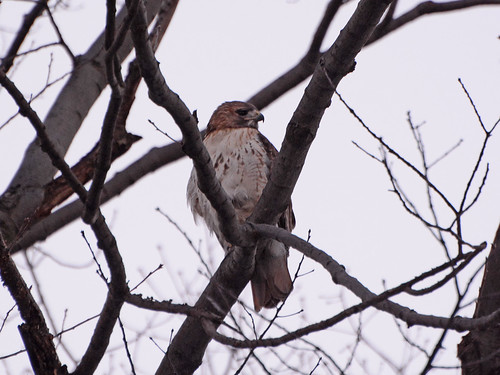 Inwood Red-Tail - 5997