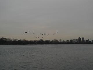 Canards dans le Parc Central