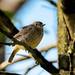 Pied bush chat (F) by Nuwan Liyanage - Sri Lanka