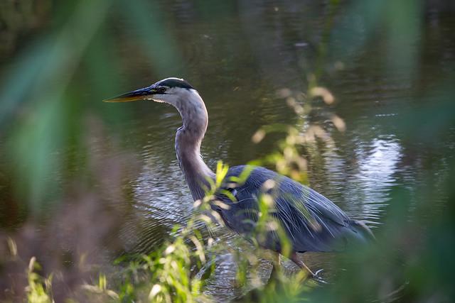 Great Blue Heron: Slowly wading along...