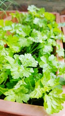 Coriander Garden Gardening Growing Plant Food Orga…