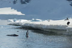 Gentoo Penguin Watch