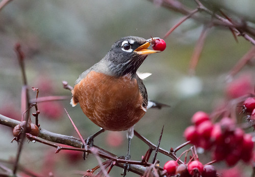 American Robin eating fruit