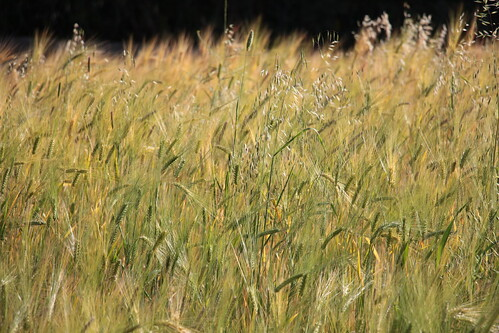 africa ethiopia cereals addisababa entoto ኢትዮጵያ አዲስአበባ እንጦጦ አፍሪቃ