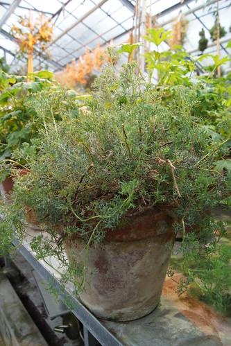 P. abrotanifolium