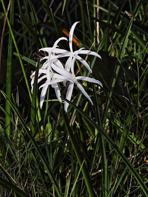 Swamp Lily 60D