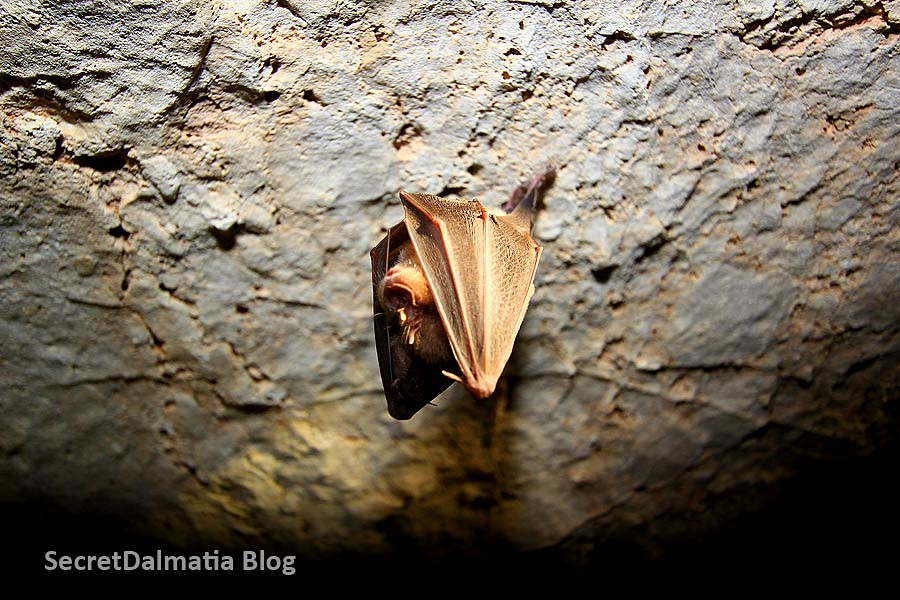 Greater horseshoe bat (Rhinolophus ferrumequinum)