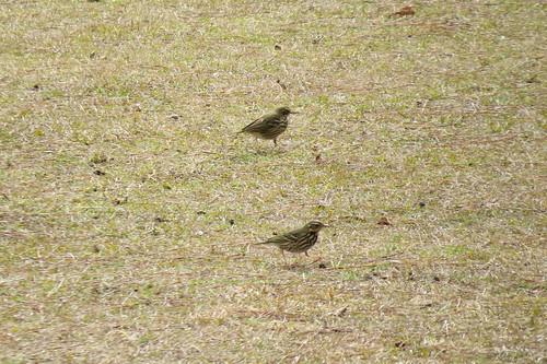 travel bird japan canon miyazaki kyushu 宮崎 wildbird olivebackedpipit 御池 mikelake スズメ目 ビンズイ セキレイ科 sx50hs タヒバリ属