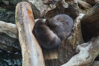 067 Osaka aquarium - otters
