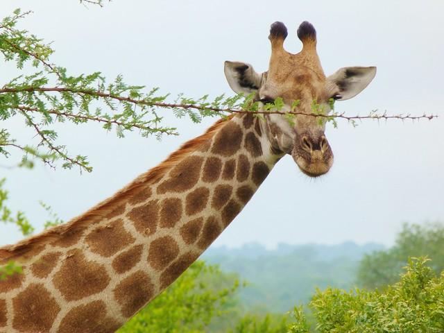 Jirafa en el Parque Kruger de Sudáfrica