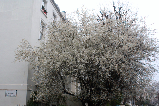 White blossoms in Notting Hill, London