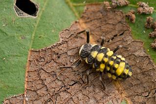 Ladybird larva (Coccinellidae) - DSC_6417