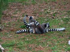 raccoon(0.0), tiger(0.0), primate(0.0), animal(1.0), mammal(1.0), fauna(1.0), lemur(1.0), procyonidae(1.0), wildlife(1.0),