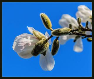 Magnolia Reaching to the Sun