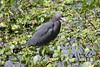 Little Blue Heron (Egretta caerulea) - Circle B Bar Reserve Lakeland U.S.A. by Gerald (Wayne) Prout