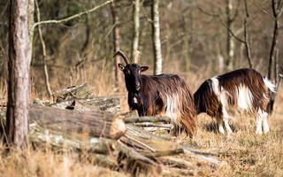 Chèvre des Fossés (Capra aegagrus hircus) - Réserve du Côteau du Mesnil-Soleil (14)