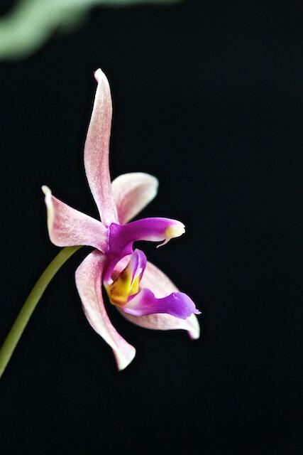 Phalaenopis Isabelle Dream 16555295236_5f07da5080_z