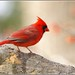 Return of the Redbirds... by pieceoflace photography