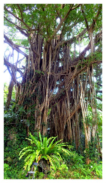 AN 80-FOOT BANYAN TREE on PRIVATE PROPERTY in NAGO CITY
