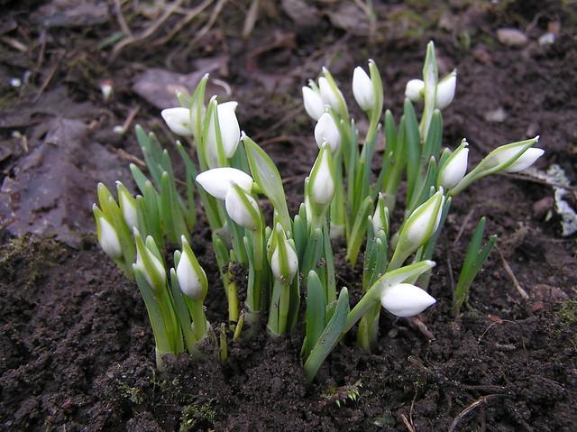 Galanthus nivalis var 'Flore Pleno'