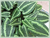Schismatoglottis calyptrata (Drop Tongue, 'Guang xi luo yan', Dukaruk)