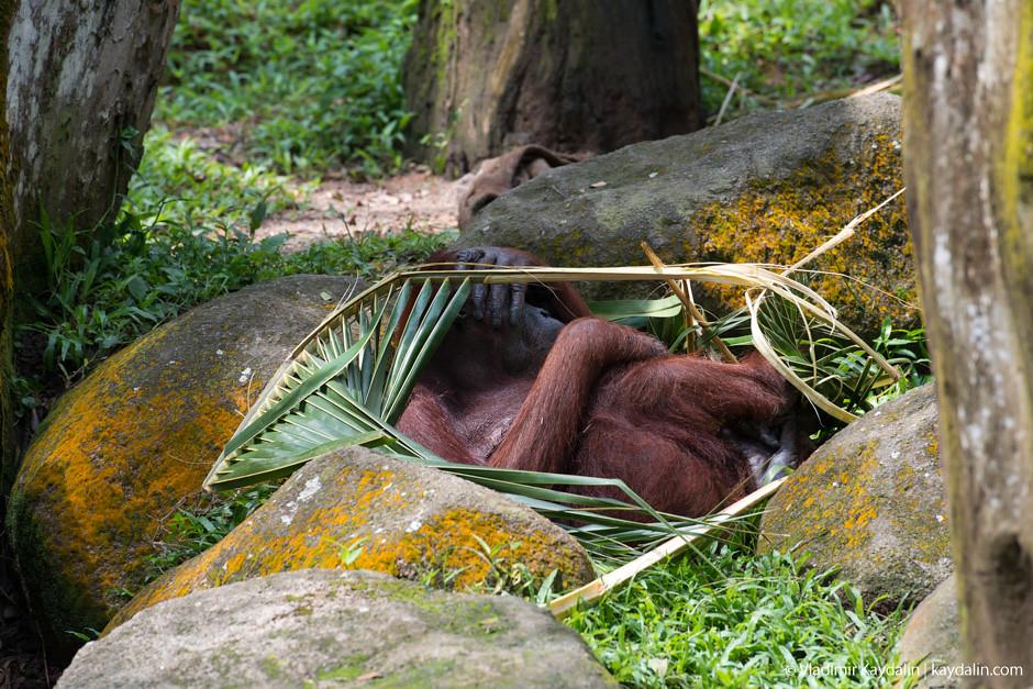 орангутан в зоопарке сингапура под пальмой