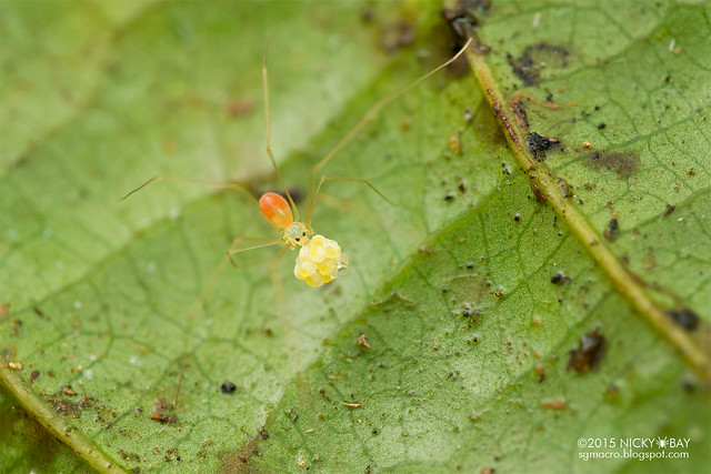 Daddy-long-legs spider (Pholcidae) - DSC_2871