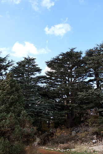 Cedar Trees in Tannourine, Cedars Forest Nature Reserve, North Lebanon.