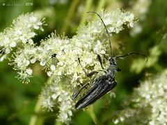 Longhorn beetle (probably Stenocorus meridianus)