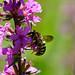 Abeille Megachile sur Salicaire pourpre