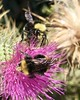 Thistles and bumblebees at Muir Woods