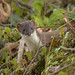 Short-tailed Weasel - Photo (c) Kentish Plumber, some rights reserved (CC BY-NC-ND)