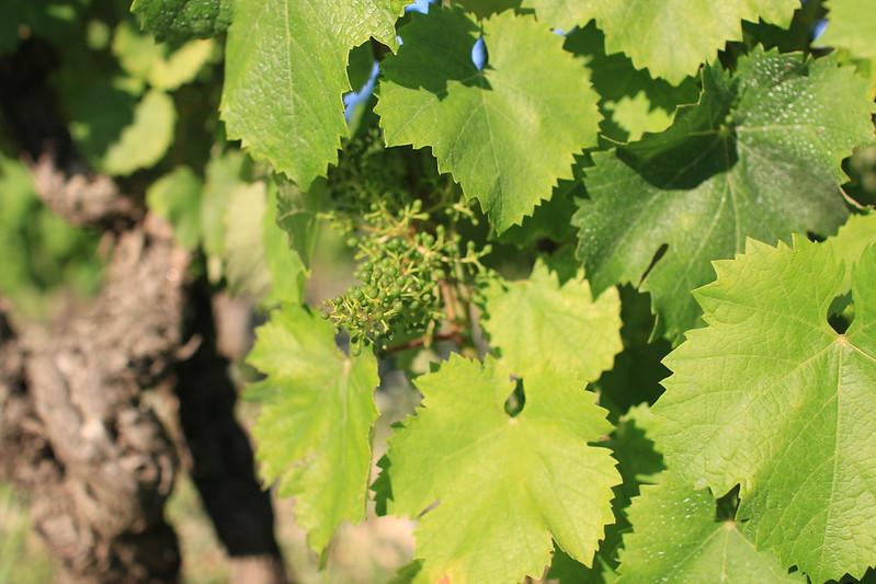 Viret vineyards