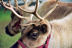 animal, antler, deer, horn, pack animal, fauna, white-tailed deer, close-up, elk, wildlife, reindeer,