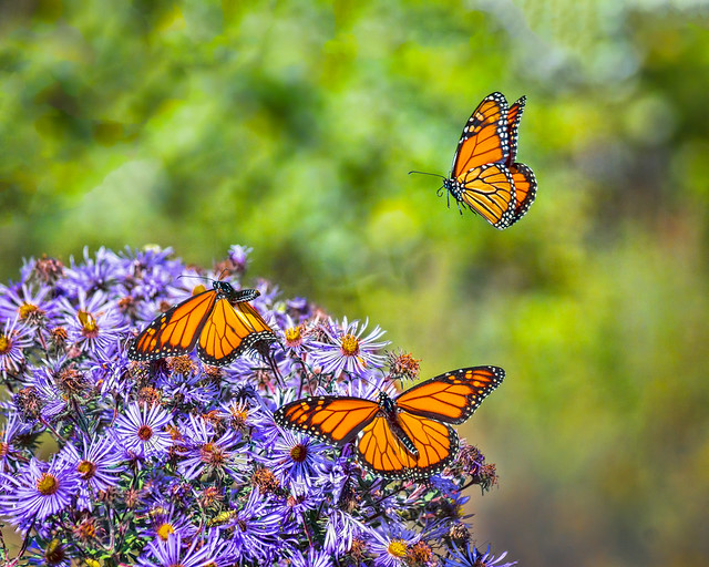 Butterfly, Butterflies, Monarch, Monarch Butterfly, Purple Aster, Flowers