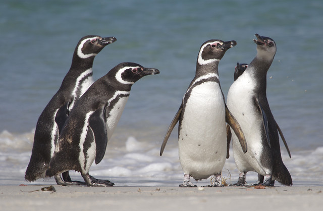 Magellanic Penguins, Falklands.