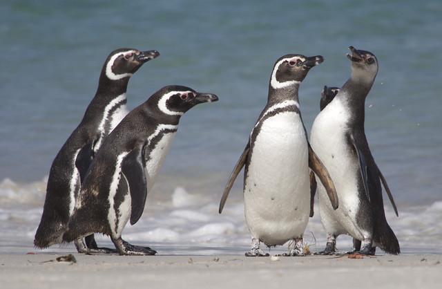 Magellanic Penguins, Falklands.