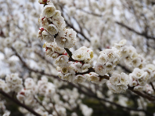 花畑園芸公園の梅②