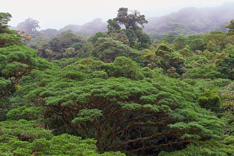 Canopy of cloud forest - Monteverde