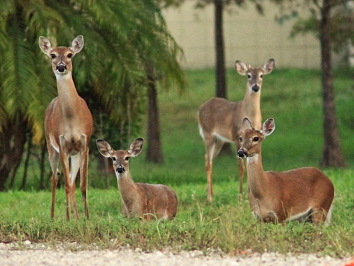 White-tailed Deer 20141125