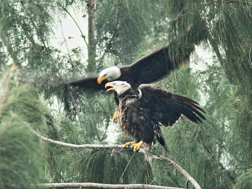Bald Eagle male and female interacting 02-20141207