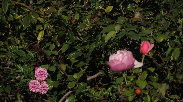 IMG_8434 roses and hummingbird