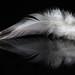 White Feather by KellarW