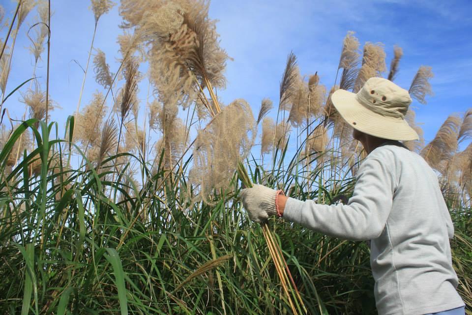 2013年12月Kacaw阿公帶領教導採集芒草